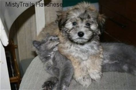 havanese puppy biting pictures of dogs with cats 8