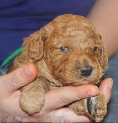 mini labradoodles for sale acadian s zydeco mini australian labradoodle puppy for