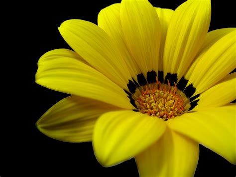 black wallpaper with yellow flowers yellow sunflower in black background new hd wallpapernew