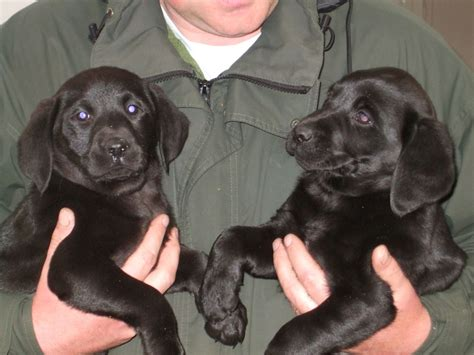 siberian retriever puppies for sale labrador retriever siberian husky mix puppies for sale in south gate breeds picture