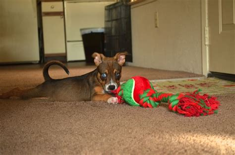 pitsky puppies for sale pitsky puppies for sale breeds picture