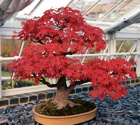 bonsai with japanese maples japanese red maple bonsai starter kit guymaven com life lifestyle bonsai red