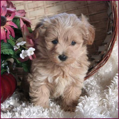 puppies that don t grow for sale maltipoo apricot www pixshark images galleries with a bite