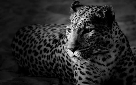 imagenes de jaguar blanco 35 hd black white widescreen backgrounds