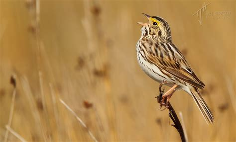 Essay On The Bird Sparrow by Birding The Alberta Grasslands A Photo Essay Bird Canada