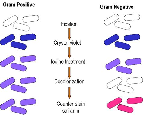 what color is gram positive microbiology gram staining