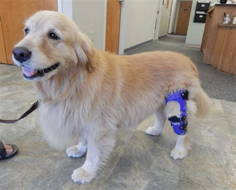 golden retriever with braces 17 best images about knee braces for dogs on real leg and for