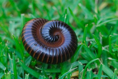 Millipedes Pest Control In Central Indiana Freedom Pest Tiny Millipedes In House