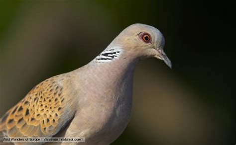 bbc nature turtle dove videos news and facts
