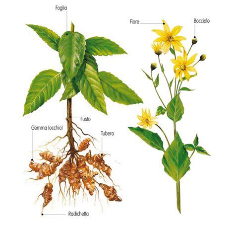 topinambur coltivazione in vaso topinambur coltivazione fai da te in giardino