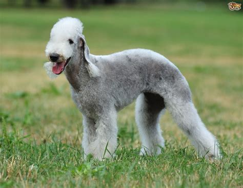 breeds and information bedlington terrier breed information buying advice