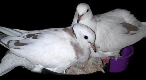 fantastic site about keeping doves as pets from gender