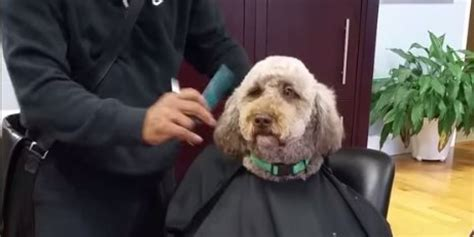 human hair dog cut pics dog gets a classy haircut at the salon loves every minute