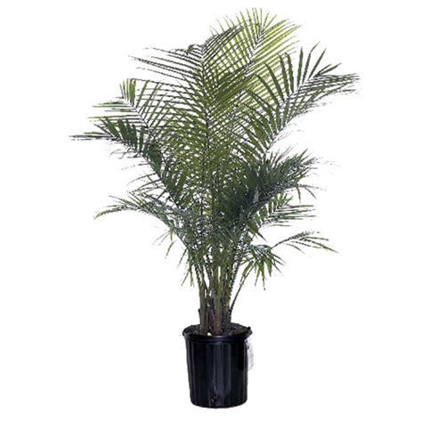 palmier majesty rona