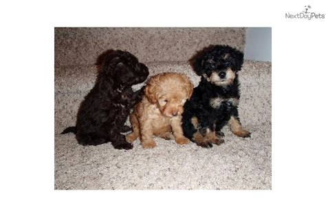 yorkie puppies wilmington nc yorkiepoo yorkie poo puppy for sale near wilmington carolina 85fd42e1 9621