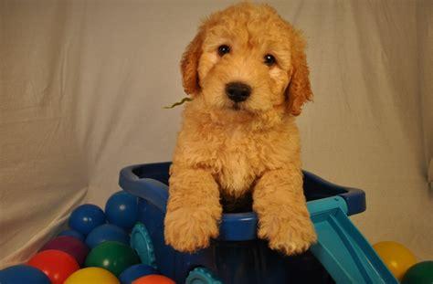 goldendoodle puppy omaha goldendoodle puppies richmond va goldendoodles omaha