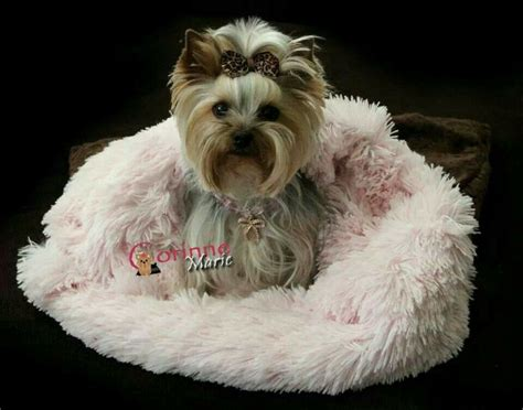 yorkie diet to lose weight pretty in pink yorkies and other babies pink