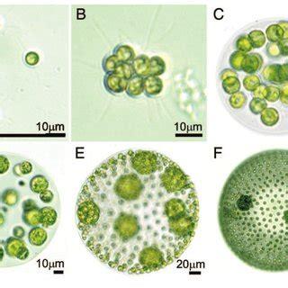 examples  unicellular  multicellular algae   chlorophyte  scientific