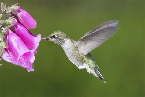 unbelievably brilliant facts about hummingbirds