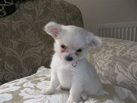 Small Dogs Home Walsall White Lovley Chihuahua Puppy Walsall West Midlands
