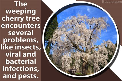 the various problems that weeping cherry trees