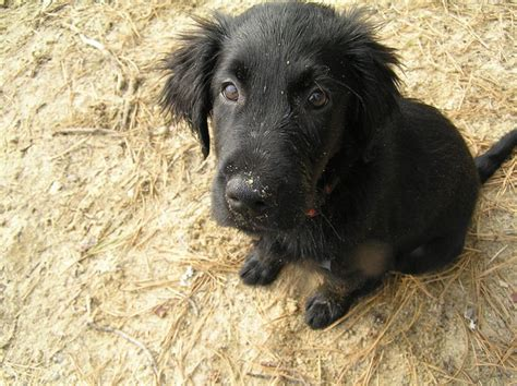 flat coated retriever golden retriever mix flat coated retriever golden retriever mix www imgkid the image kid has it