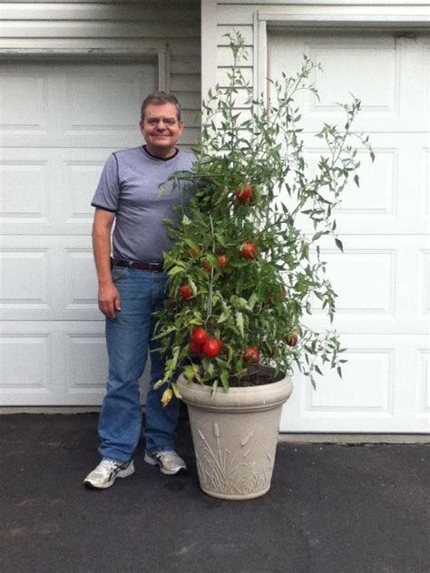 tomatoes   container garden wow   great