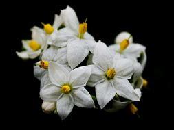 olio essenziale di fiori d arancio olio essenziale di neroli le due facce dell la