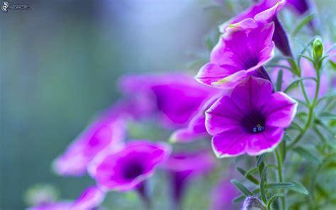 fiori petunia petunia