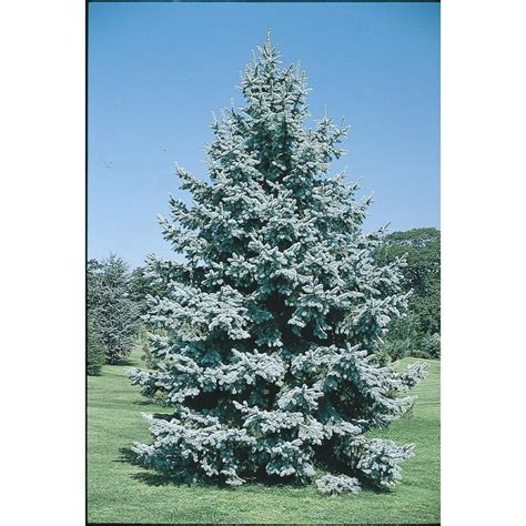 7 ft spruce tree shop 7 ft colorado blue spruce feature tree l3937 at