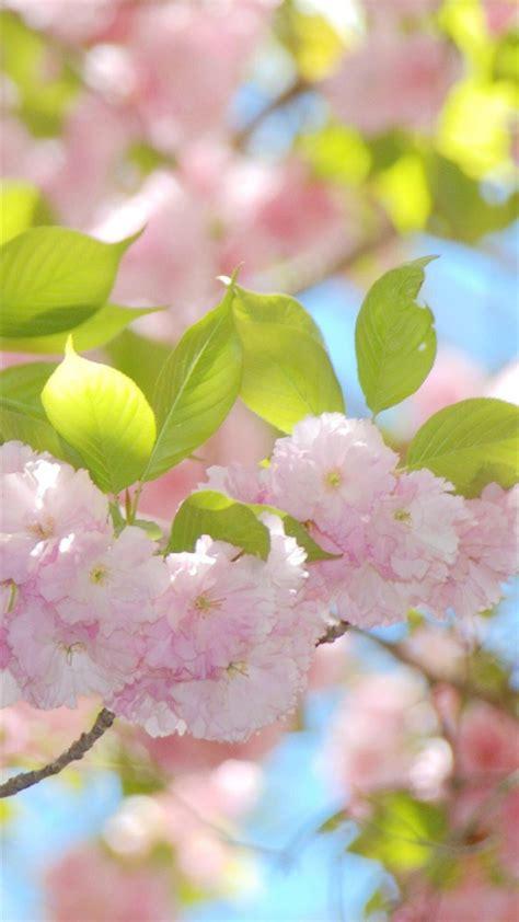 Blume Mit Rosa Blüten by Die 90 Besten Blumen Hintergrundbilder F 252 R Iphone