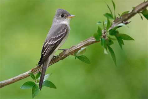 the birds and the eastern wood pewee audubon field guide