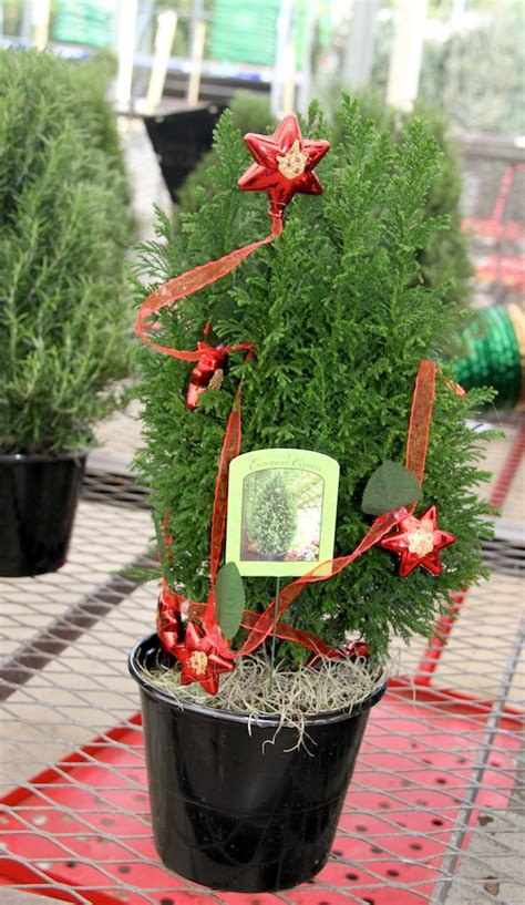 european cypress christmas tree media kit