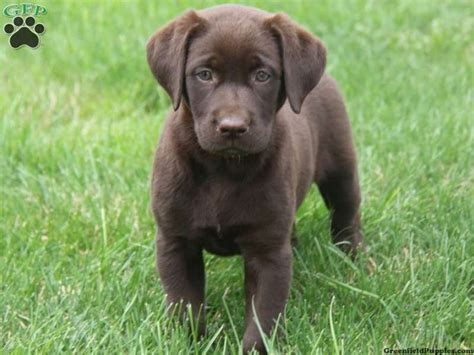labrador puppies pa chocolate lab puppy for sale in honey brook pa labs lab