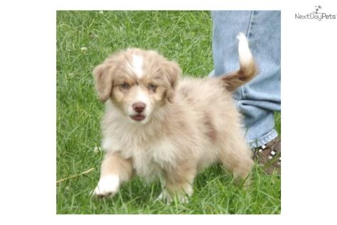 aussiedoodle puppies for adoption mix puppies husky puppies for adoption in florida find husky puppies breeds picture