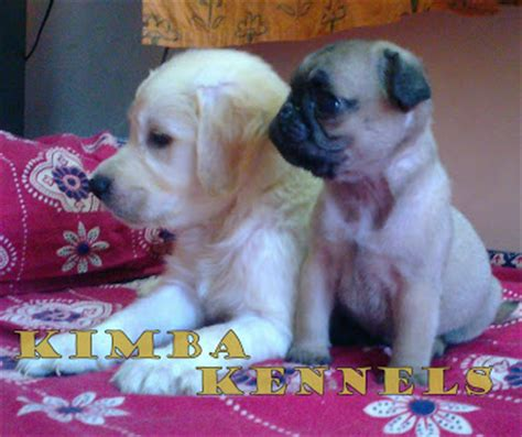 golden retriever for sale in bangalore kimba kennels kimba kennels