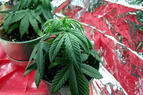 thirsty cannabis plant drooping symptoms due to underwatering marijuana grow make seedlings grow faster avoid common problems mistakes grow easy