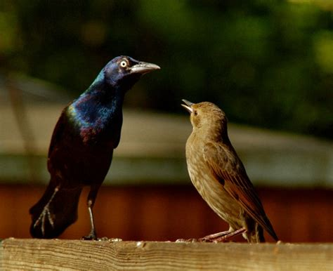 common grackle and european starling birdwatching