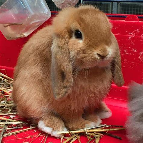 alimentazione coniglio testa di ariete nano fulvo la stalla dei conigli allevamento e