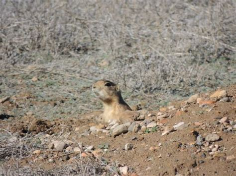 where do prairie dogs live these prairie dogs live in front of the hotel