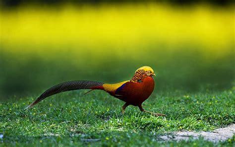 Golden Bird golden pheasant birds hd wallpapers angelic hugs