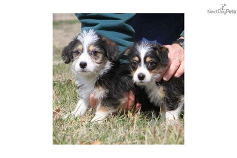 corgipoo puppies for sale meet 99332 a corgi puppy for sale for 499 99 corgipoo s
