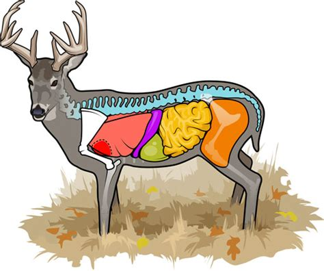 where to shoot a deer diagram whitetail how to find it based on placement