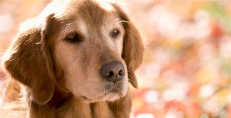 senior dogs food for senior aging diet nutritional needs pets world
