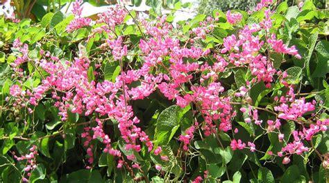 Tanaman Bunga Air Mata Pengantin Putih Tinggi 60 80 Cm tanaman hias merambat bibit