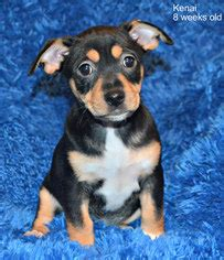 chihuahua mixed with rottweiler view ad chihuahua rottweiler mix for adoption california yreka usa