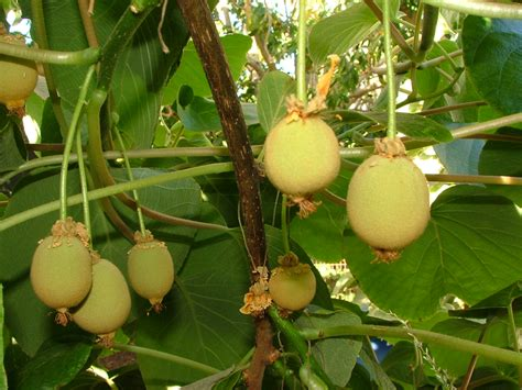 kiwi fruit trees my edible fruit trees kiwifruit vines