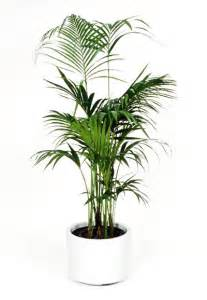 Indoor Palm by Gallery For Gt Kentia Palm Indoor