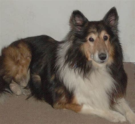 sheltie puppies for adoption sheltie rescue central illinois breeds picture