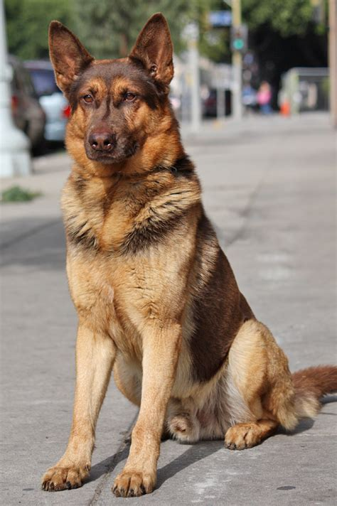 liver german shepherd westside german shepherd rescue of los angeles